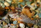 Аквариумная рыбка сомик Брохис